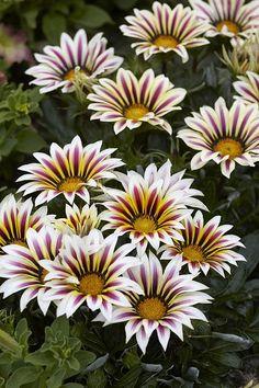 Выращивание гацании (газании) из семян, способы и рекомендации