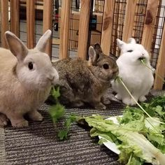 Salad buffet is how bunnies are so cute and soft. Coco loves his salad. http://ift.tt/2zGC4YE