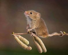 Crazy Fieldmouse