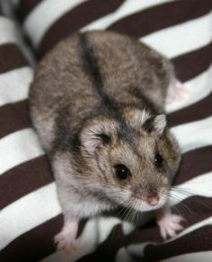 Russian Dwarf Hamsters make wonderful pets and they can be kept in groups unlike Syrian Hamsters which can fight to the death.
