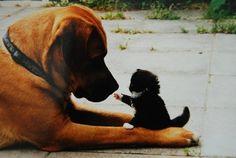 Avoir en même temps un Chien et un Chat à la maison, ce n'est pas forcément la guerre. Tout se passe bien ... du moment que le chien comprenne que le vrai boss de la maison, c'est cette minuscule chose qui le rend fou toute la journée, le Chat ! Ce sont les Chats qui ont le pouvoir dans la maison, et si parfois les chiens ont tendance à l'oublier, les Chats savent le leur rappeler. La preuve ...