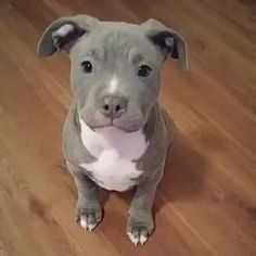 Dog Breeds Little .Dog Breeds Little Super Cute Puppies, Cute Baby Dogs, Cute Little Puppies, Cute Little Animals, Cute Funny Animals, Pitbull Dog Puppy, Amstaff Puppy, Baby Animals Pictures, Cute Animal Pictures