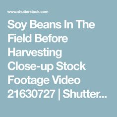 Soy Beans In The Field Before Harvesting Close-up Stock Footage Video 21630727 | Shutterstock