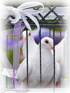 Winged Memories White Dove Releases in CNY