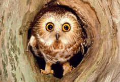 Northern Saw-Whet Owl. :)