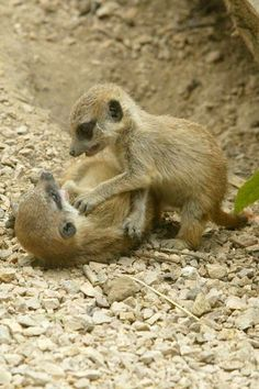A playfight between meerkat kittens is the cutest thing.