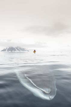 Andrew Peacock captures photo of Minke whale about to pass beneath his kayak...