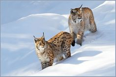 Lynx... awesome photo!!