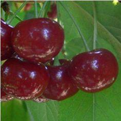 Rendszeres metszés, Metszés időpontja, Metszés módja. Aki nagyméretű gyümölcsöt szeretne szedni, az rendszeresen ritkítson. Fruit, Garden, Garten, Gardens, Tuin, Yard