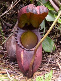 Nepenthes rajah—the largest carnivorous plant. It is very rare.