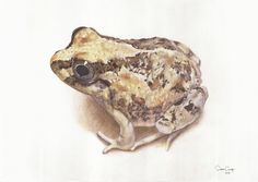 Ilustração Científica em Aquarela e lápis de cor aquarelável. Sapo (Pleurodema doplolister)