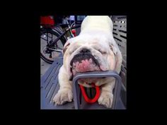 The major breeds of bulldogs are English bulldog, American bulldog, and French bulldog. The bulldog has a broad shoulder which matches with the head. French Bulldog Blue, British Bulldog, Bulldog Pics, Bulldog Puppies, Bulldog Skateboard, Bulldogs Ingles, Cute Bulldogs, Purebred Dogs, Great British