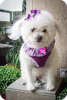 Redondo Beach, CA - Poodle (Miniature). Meet Dolly, a dog for adoption. http://www.adoptapet.com/pet/12846842-redondo-beach-california-poodle-miniature
