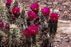 Engelmann's Hedgehog-Desert Botanical Garden