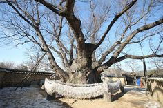 삼신당 신주나무