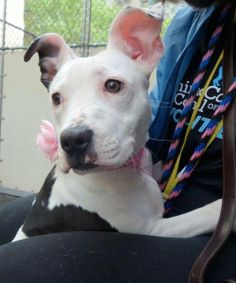 Manhattan Center    MILLIONS - A0999121  *** LIVED WITH DOGS & CATS ***   FEMALE, WHITE / BLACK, PIT BULL MIX, 6 mos  OWNER SUR - EVALUATE, NO HOLD  Reason ALLERGIES   Intake condition NONE Intake Date 05/08/2014, From NY 10468, DueOut Date 05/08/2014  https://www.facebook.com/photo.php?fbid=801824589830422&set=a.617938651552351.1073741868.152876678058553&type=3&permPage=1