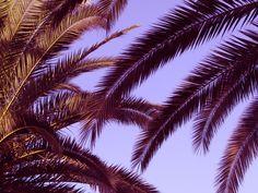 palmitomuk