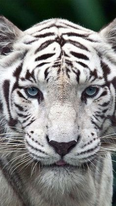 White Tiger - such beautiful soft blue eyes...