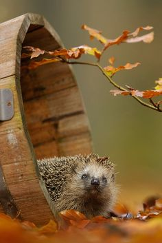.Beautiful Hedgie in Autumn just the best!