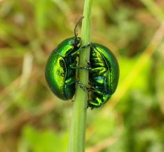 Beetle Ying-Yang. Leaf Beetles, Family Chrysomelidae, Mint Leaf Beetle, Chrysolina menthastri, by Jopy, Project Noah.