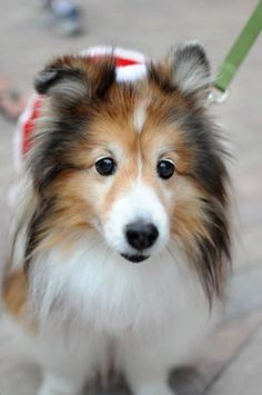 Cute sheltie - Sweet Face