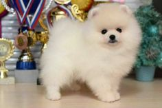 This one looks like my Toby Boy Just darling pom