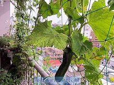 Growing cucumbers on the balcony: varieties, instructions - Agriculture - 2020 Cucumber Plant, Green Revolution, Balcony Garden, Planting Seeds, Native Plants, Permaculture, Compost, Agriculture