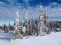 Snowy fir trees in the Black Forest