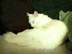 White cat sleeping by NaviStock.deviantart.com on @deviantART