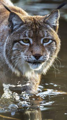 lynx, predator, muzzle, water                                                                                                                                                      More