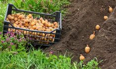 Organic Gardening Tips Potato Gardening, Planting Potatoes, Backyard Vegetable Gardens, Greenhouse Gardening, Garden Planters, Organic Gardening, Diy Garden, Growing Plants, Growing Vegetables