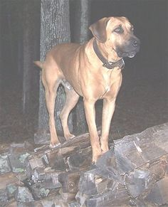 "Perhaps for a ranch dog I should consider the Black Mouth Cur; weighs in at a top 95 lbs., about 25"" tall, no listed health problems at www.dogbreedinfo.com, and very protective, needs room to run, needs to be exercised. This male is about one and one-half years old. Good looking fella..."