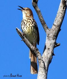 Brown Thrasher. Blue Sky. Photo: Bruce Huss, Wichita, KS