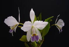 Cattleya gaskelliana var. caerulea - Flickr - Photo Sharing!