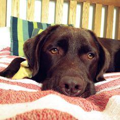 Chocolate brown Labrador #jasper
