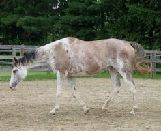 This mare showed up on facebook under Ontario Horses for Sale. Her name is Puchi Doll, 1997 TB mare by Puchilingui and she is in foal to Guaranteed Gold. The baby will be a dilute TB foal with the possibility of a lot of chrome since the dam is dominant white. She's only 2k! I wish I wasn't so poor.