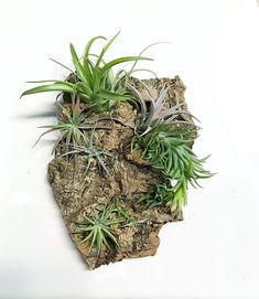 Items similar to Air Plant Wall Hang Set of Two: Vertical Garden, Air Plant Holder, Air Plant Garden on Etsy Foliage Plants, Air Plants, Garden Plants, Hanging Plant Wall, Decoration Plante, Plant Information, Edible Plants, Outdoor Survival, Growing Flowers