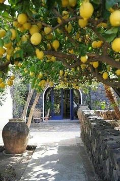 Lemon Trees ~ in every backyard in Crete, Greece