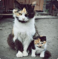Chatte et chaton tricolores (calico)