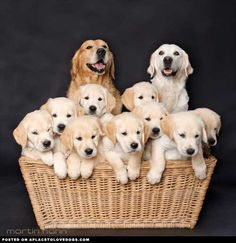 A beautiful Golden family, happy mom and dad with the sweetest basket of Golden Retriever puppies