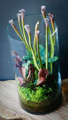 terrarium gardens with carnivorous plants Air Plants, Garden Plants, Indoor Plants, Garden Pond, Indoor Herbs, Rooftop Garden, Aquatic Plants, Shade Garden, Herb Garden