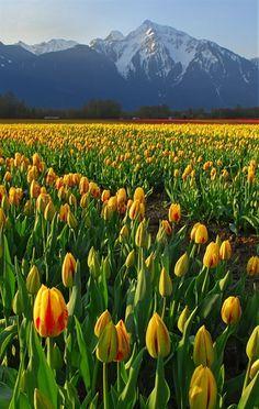 ✯ Tulip Mountain - British Columbia, Canada