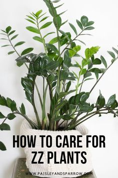 ZZ plant care tips - everything you need to know! Looking for ZZ plant care tips? Click through for everything you need to know about your ZZ plant including does this common household plant cause cancer?