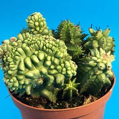 Euphorbia horrida 'Monstruosa' / 仙人掌 kaktüs サボテン |