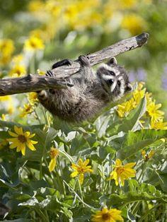 Little raccoon <3 Sweet!