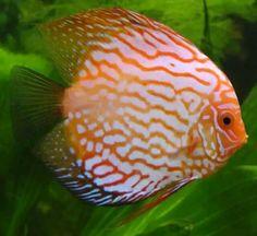 """Pez Disco Todas las especies de peces disco tienen una forma de cuerpo comprimido lateralmente. Sin embargo, las aletas extendidas están ausentes en los peces disco y se da una forma más redondeada. Es esta la forma del cuerpo de la que su nombre común, """"disco"""", se deriva. Los costados de los peces son frecuentemente dibujos en tonos de verde, rojo, marrón y azul. La altura y longitud de los peces cultivados son unos 20-25 cm (8-10 pulgadas)."""