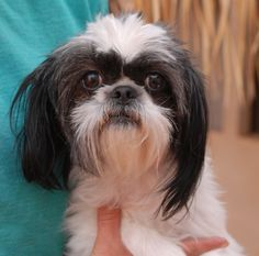 Peaches is a delightful young girl debuting for adoption today at Nevada SPCA (www.nevadaspca.org).  She is a pretty Shih-Tzu mix, 2 years of age and now spayed.  Peaches is good with other sweet dogs and needs regular professional grooming.  She is reportedly housetrained and likes to sleep on the bed at your side. Peaches needed us when her previous owner went into long-term care.