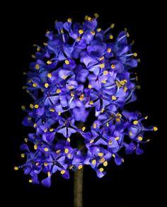 California Lilac- Ceanothus