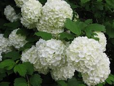 Windmill Farm: Roses Peonies and Snow Ball Plants Are Spectacular! Growing Peonies, Growing Flowers, Flowering Bushes, Dogwood Trees, Cut Flower Garden, Outside Patio, Cabbage Roses, Small Farm, Farm Gardens