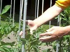Topping Dahlia Plants